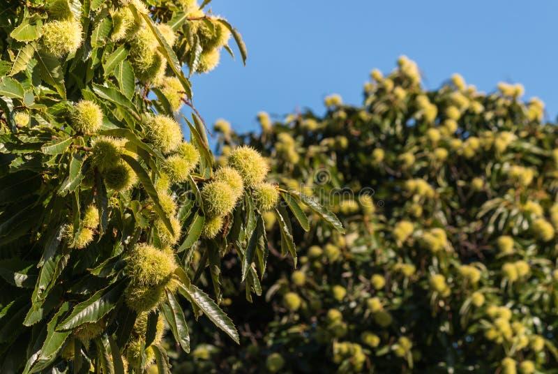 Söta kastanjebruna träd i höst royaltyfri bild