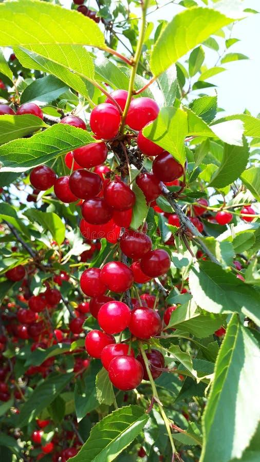Söta och sura röda körsbär på filialer royaltyfri foto