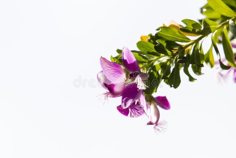 Söta Pea Shrub blommor på en filial som isoleras på vit bakgrund arkivfoto
