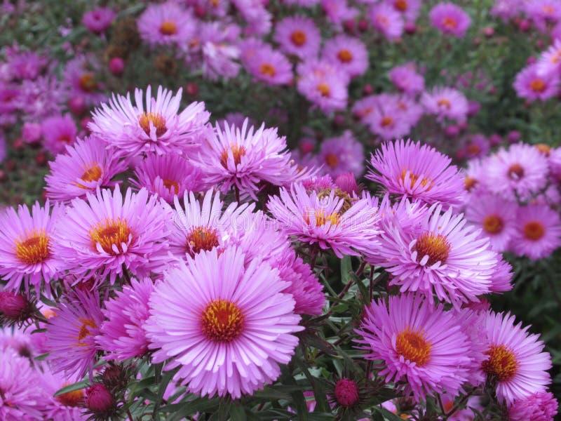 Söta purpurfärgade asterblommor i parkerar trädgården fotografering för bildbyråer