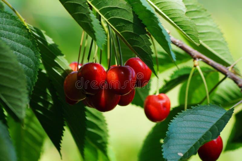 Söta röda körsbär på ett träd arkivfoton