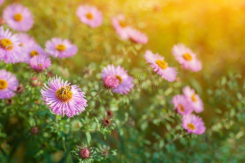 Söta rosa purpurfärgade kosmosblommor i fältet med bakgrund för blå himmel i kosmosfält och kopieringsutrymme som är användbart f arkivfoton
