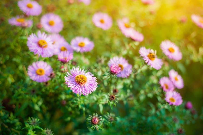 Söta rosa purpurfärgade kosmosblommor i fältet med bakgrund för blå himmel i kosmosfält och kopieringsutrymme som är användbart f arkivbild