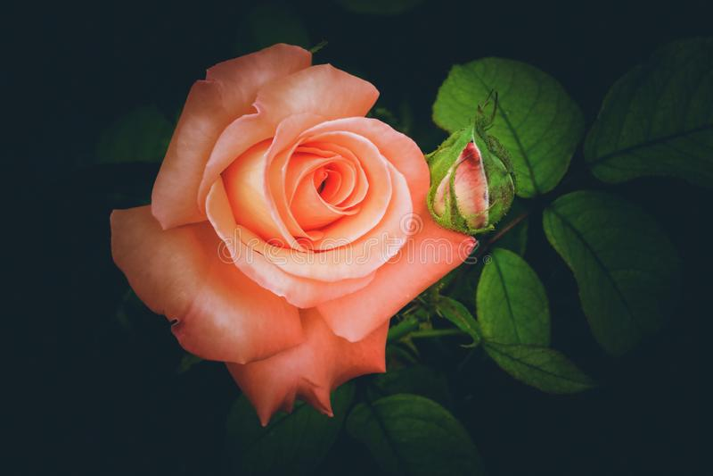 Söta rosa Rose On Black Background royaltyfri bild