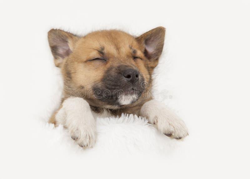 Sött litet sova på hans tillbaka valp på vit bakgrund arkivfoton