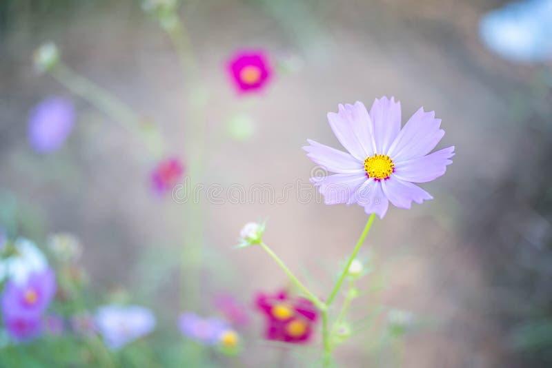 Sött rosa kosmos blommar med biet i fältbakgrunden arkivfoton