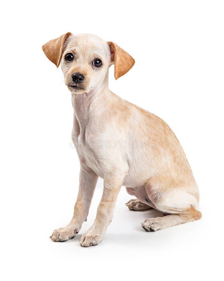 Sött uttryck för gullig hund för Chihuahua ung fotografering för bildbyråer