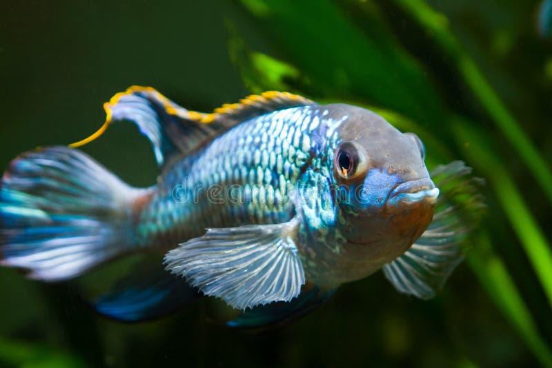 Sötvattens- blå cichlid för spektakulärt och kraftigt neon för manNannacara anomala som visar dess lägga rom uppförande arkivbild