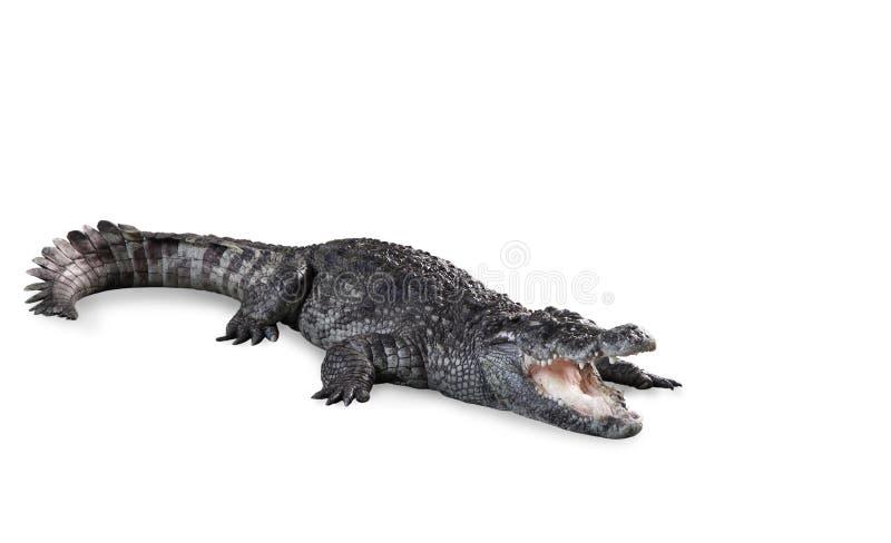 Sötvattens- krokodil som isoleras med banan royaltyfri fotografi