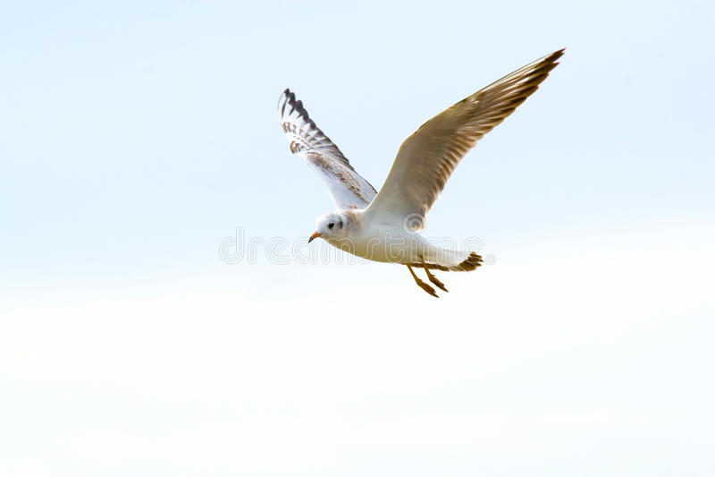 sötvattens- seagulls arkivfoto