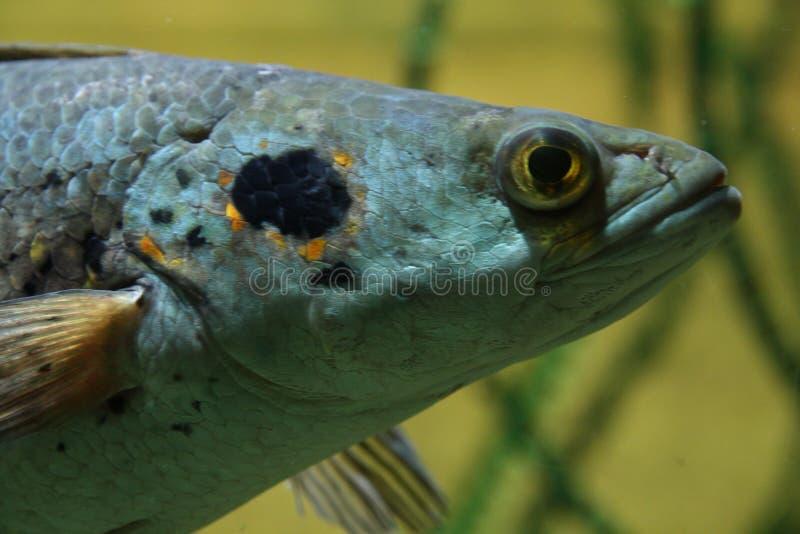 Sötvattensfisk royaltyfri foto