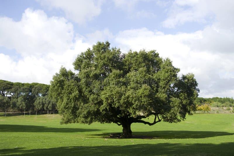 Súber do Quercus fotografia de stock