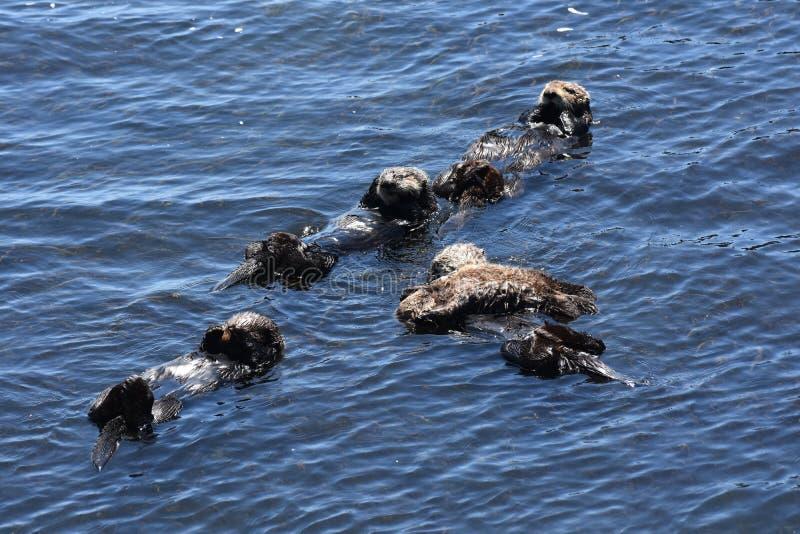 Süße Gruppe Seeotter, die ganz auf ihre Rückseiten schwimmen stockfotos