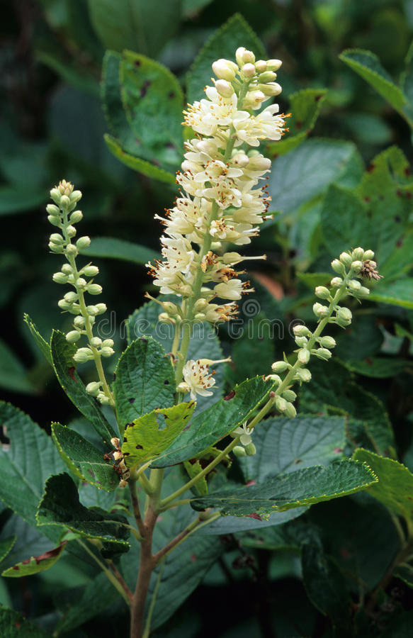 Süße Pepperbush-Blumen stockbild