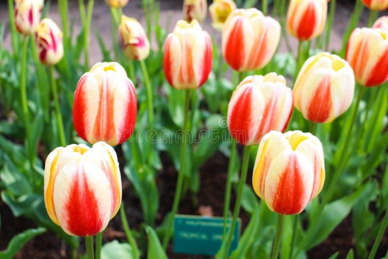 Süße Tulpe stockfotos
