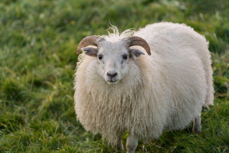Süße weiße weibliche Schafe mit flaumiger Wolle stockbild