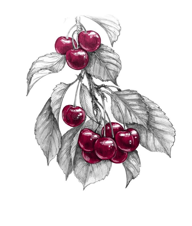 Süßer Cherry Branch mit roter Beeren-Bleistift-Zeichnung vektor abbildung