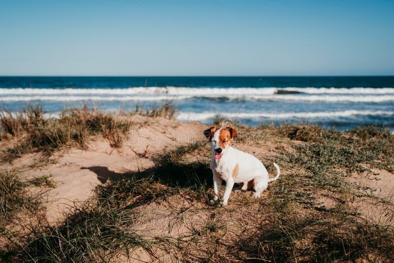 süßer kleiner Hund aus der Bucht am Strand Bei Sonnenuntergang auf Dünen sitzen stockbilder
