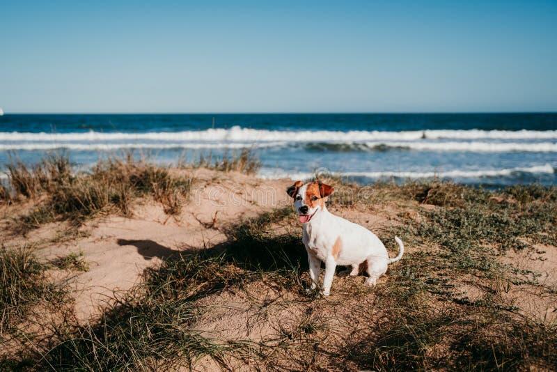 süßer kleiner Hund aus der Bucht am Strand Bei Sonnenuntergang auf Dünen sitzen stockfotos