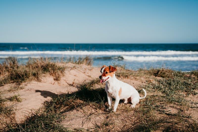 süßer kleiner Hund aus der Bucht am Strand Bei Sonnenuntergang auf Dünen sitzen lizenzfreies stockbild