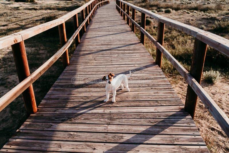 süßer kleiner Hund mit kleinem Wagenhahn auf einer Holzbrücke am Strand bei Sonnenuntergang stockfoto