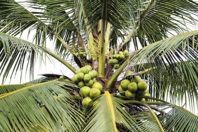 Süßer Kokosnussbaum stockbilder