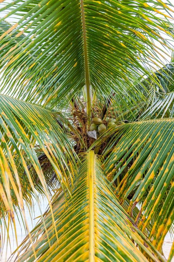 Süßer Kokosnussbaum stockfotografie