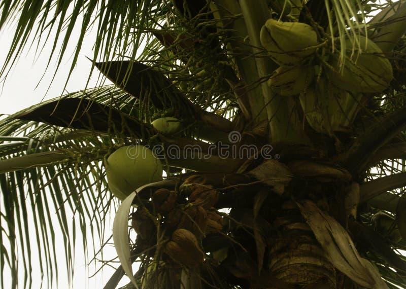 Süßer Kokosnussbaum stockbild