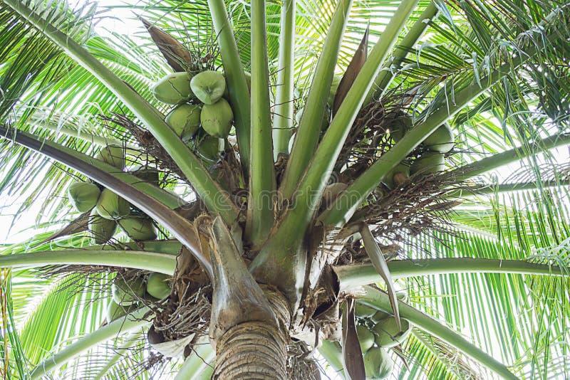 Süßer Kokosnussbaum mit Früchten lizenzfreie stockbilder