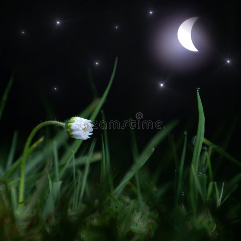 Süßer Traum, Schlafengänseblümchenblume in der sternenklaren Nacht stockfotos