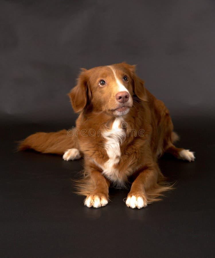 Süßer wating Tollar-Hund lizenzfreies stockfoto