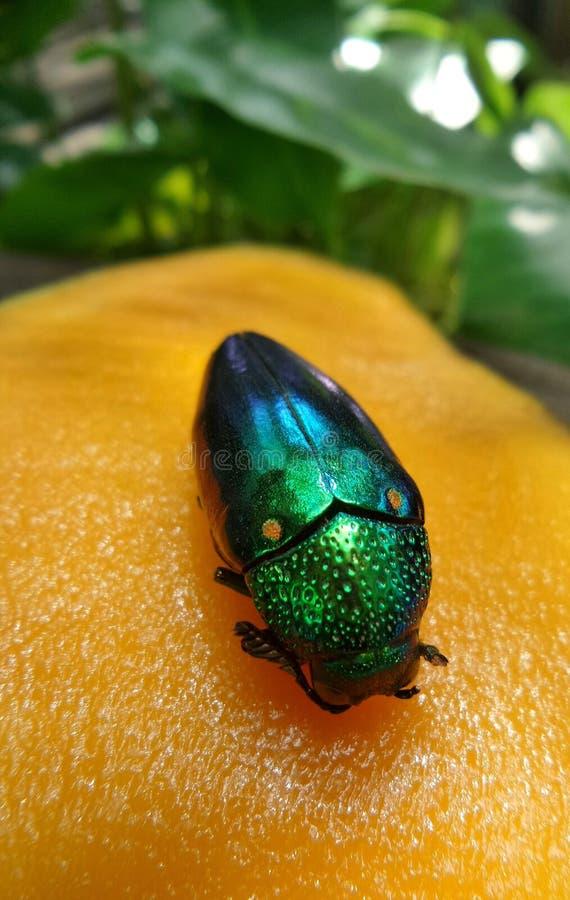 Süßes Gelb reifen helle Juwels Käfer der Mango und eines lizenzfreies stockbild