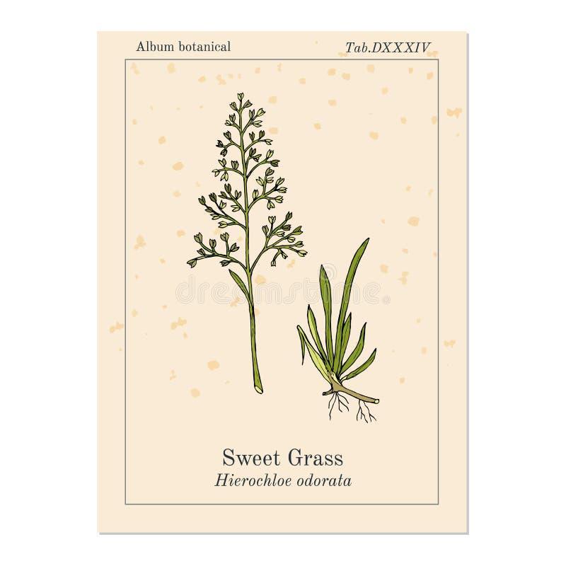 Süßes oder heiliges Gras Hierochloe Odorata, aromatisch und Heilpflanze vektor abbildung