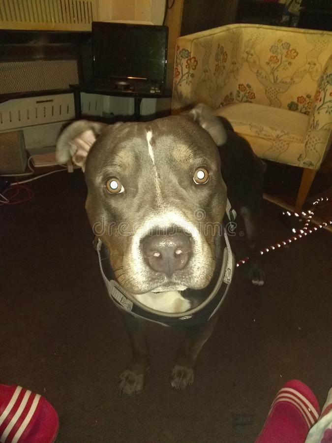 Süßes pitbull stockfoto
