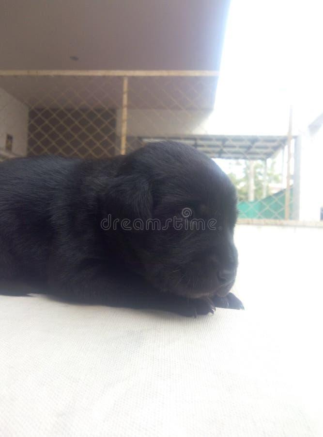Süßes Schlafenbild von Labrador-Welpen lizenzfreies stockfoto