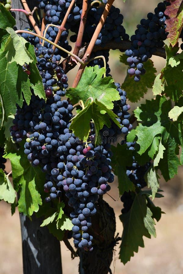 Süßes und geschmackvolles Bündel der blauen Traube auf der Rebe, Toskana stockfoto