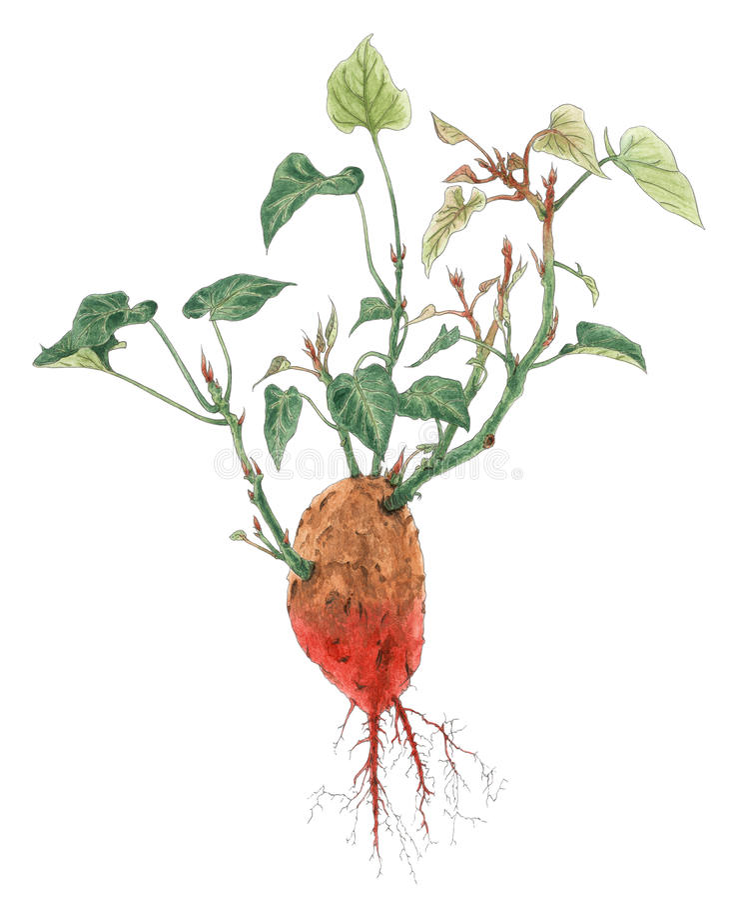 Süßkartoffel-Ipomoea- Batatasbetriebsbotanische Zeichnung stock abbildung