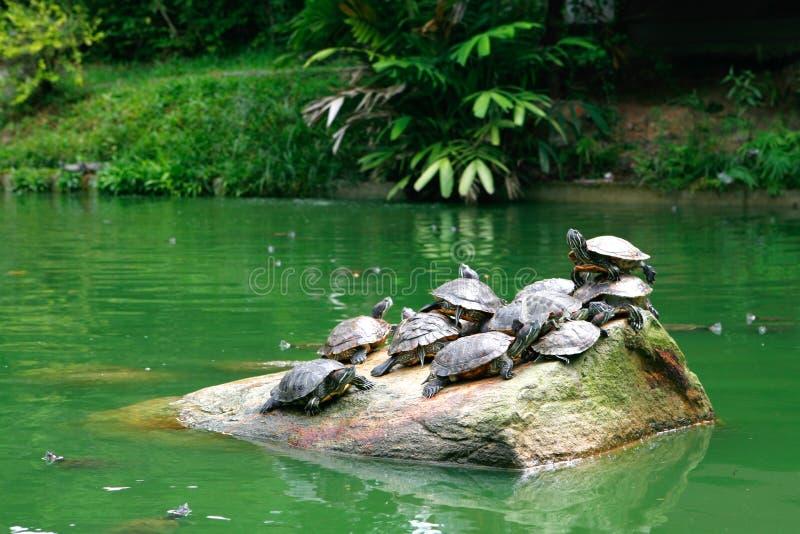 Süßwasserschildkröte foto de archivo