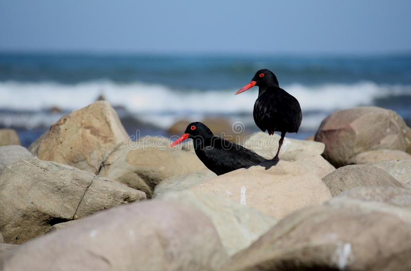 Südafrikanische Austern-Fänger auf Felsen stockbild