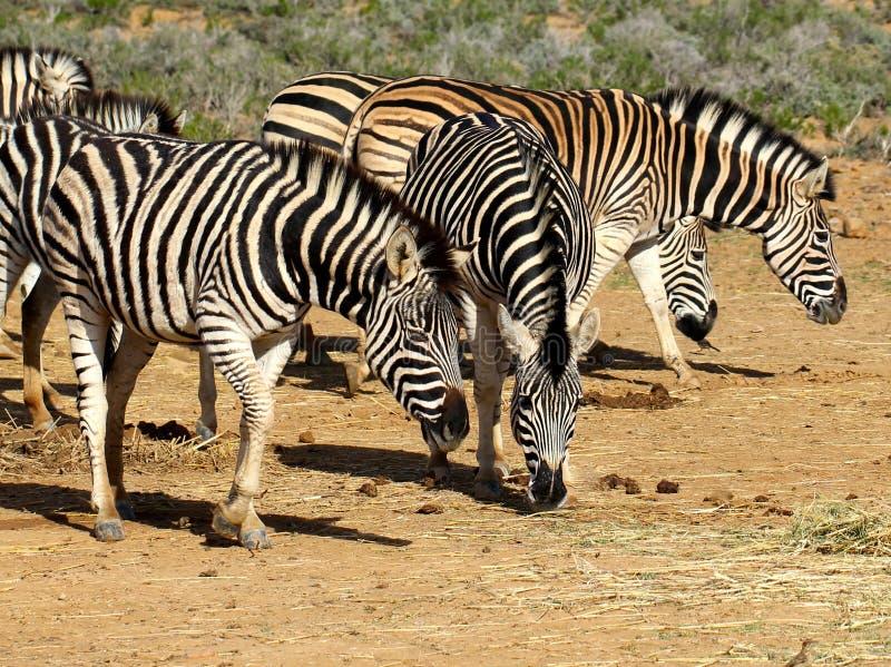 Südafrikanische weiden lassende Zebras lizenzfreies stockfoto