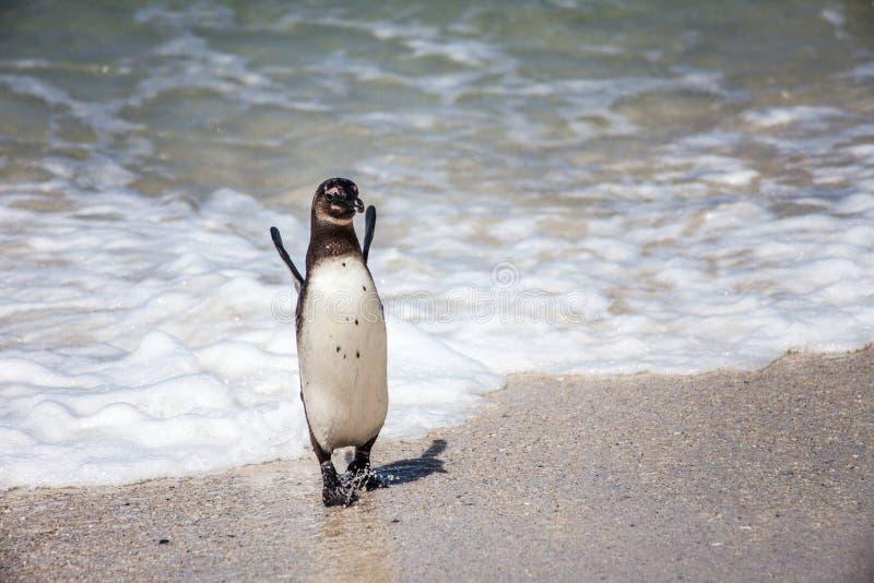 Südafrikanischer Pinguin, Flussstein-Strand, jubelnd zu stockfoto