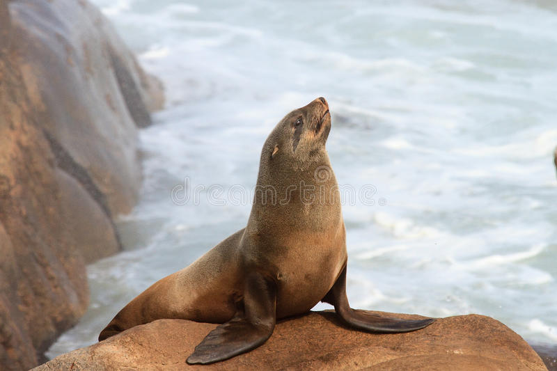Südafrikanischer Seebär lizenzfreies stockbild