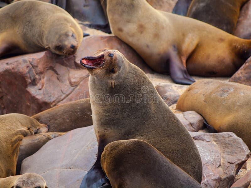 Südafrikanischer Seebär (Arctocephalus pusillus) lizenzfreie stockbilder
