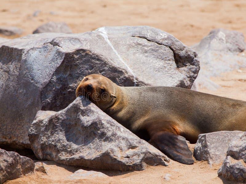 Südafrikanischer Seebär (Arctocephalus pusillus) lizenzfreie stockfotos