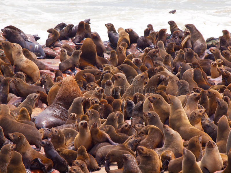 Südafrikanischer Seebär-Kolonie (Arctocephalus pusillus) stockbilder