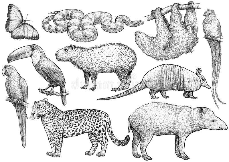 S?damerikanische Tiersammlung, Illustration, Zeichnung, Stich, Tinte, Linie Kunst, Vektor lizenzfreie abbildung