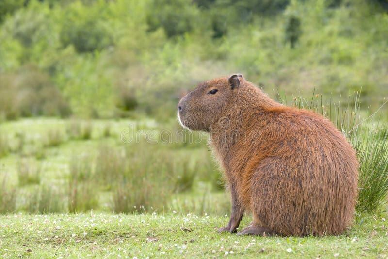 Südamerikanisches Capybaraprofil lizenzfreie stockfotos