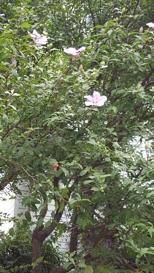 Südkorea-Sommer-Blume lizenzfreies stockbild