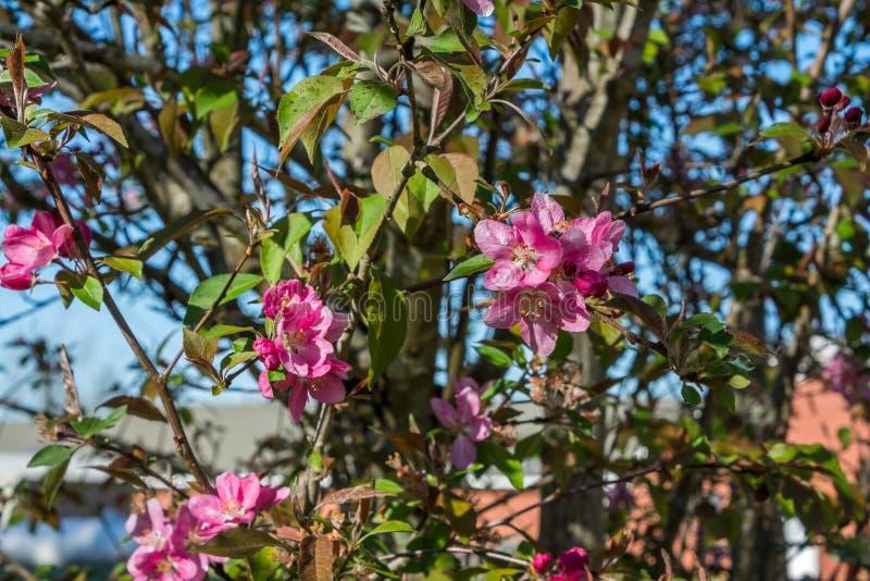 Südliche Crabapple-Blüten im Vorfrühling lizenzfreies stockfoto