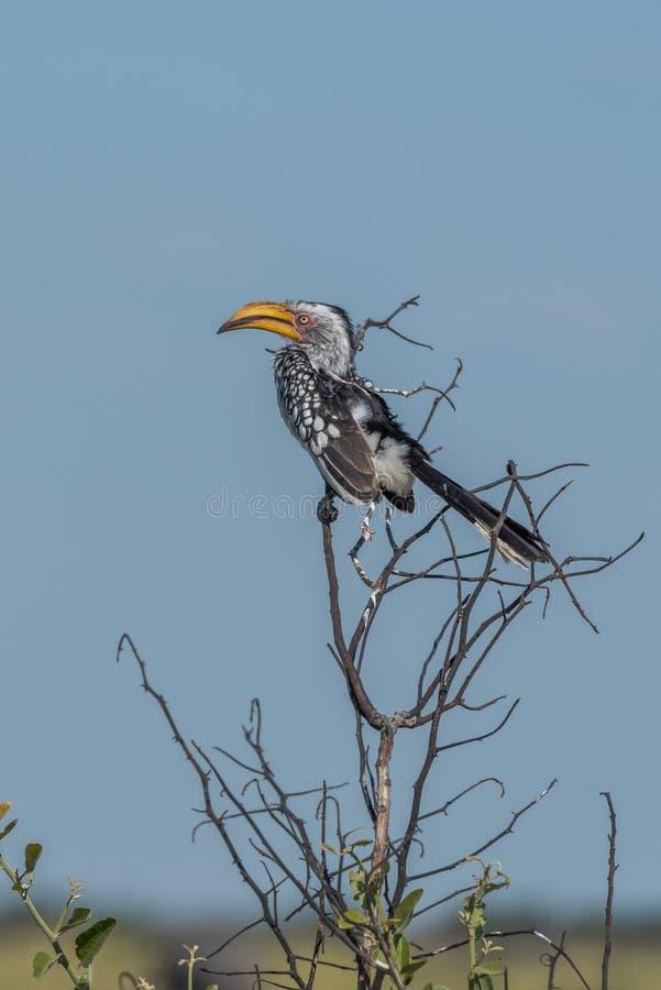 Südlicher gelb-berechneter Hornbill auf Niederlassung des Baums stockfoto